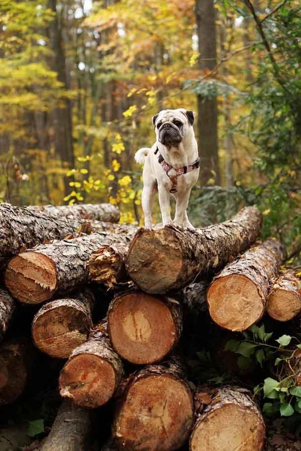 "<img src=""magazine-cbd-oil-.jpg"" alt=""mops dog on a pile of wood""/>"